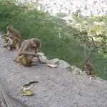 les singes aiment les bananes ... oh surprise !